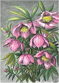 Helleborus - silvia diana - china e acquerello - 200€