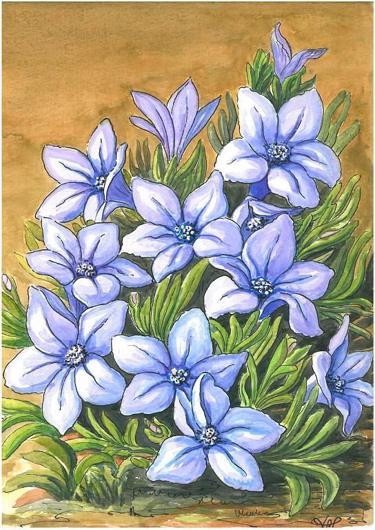 Lithodora - silvia diana - china e acquerello - 200 €