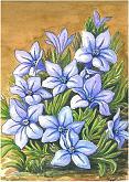 Lithodora - silvia diana - china e acquerello - 200€