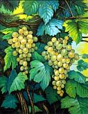 Grappoli d'uva pendenti - Salvatore Ruggeri - Olio