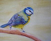 Uccello Cinciallegra  - Ruzanna Scaglione Khalatyan - Acquerello